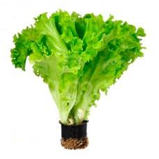 Салат листовой в горшочке